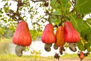 cashewnoot aan crucht